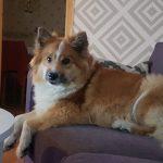 En hund som ligger i en soffa.
